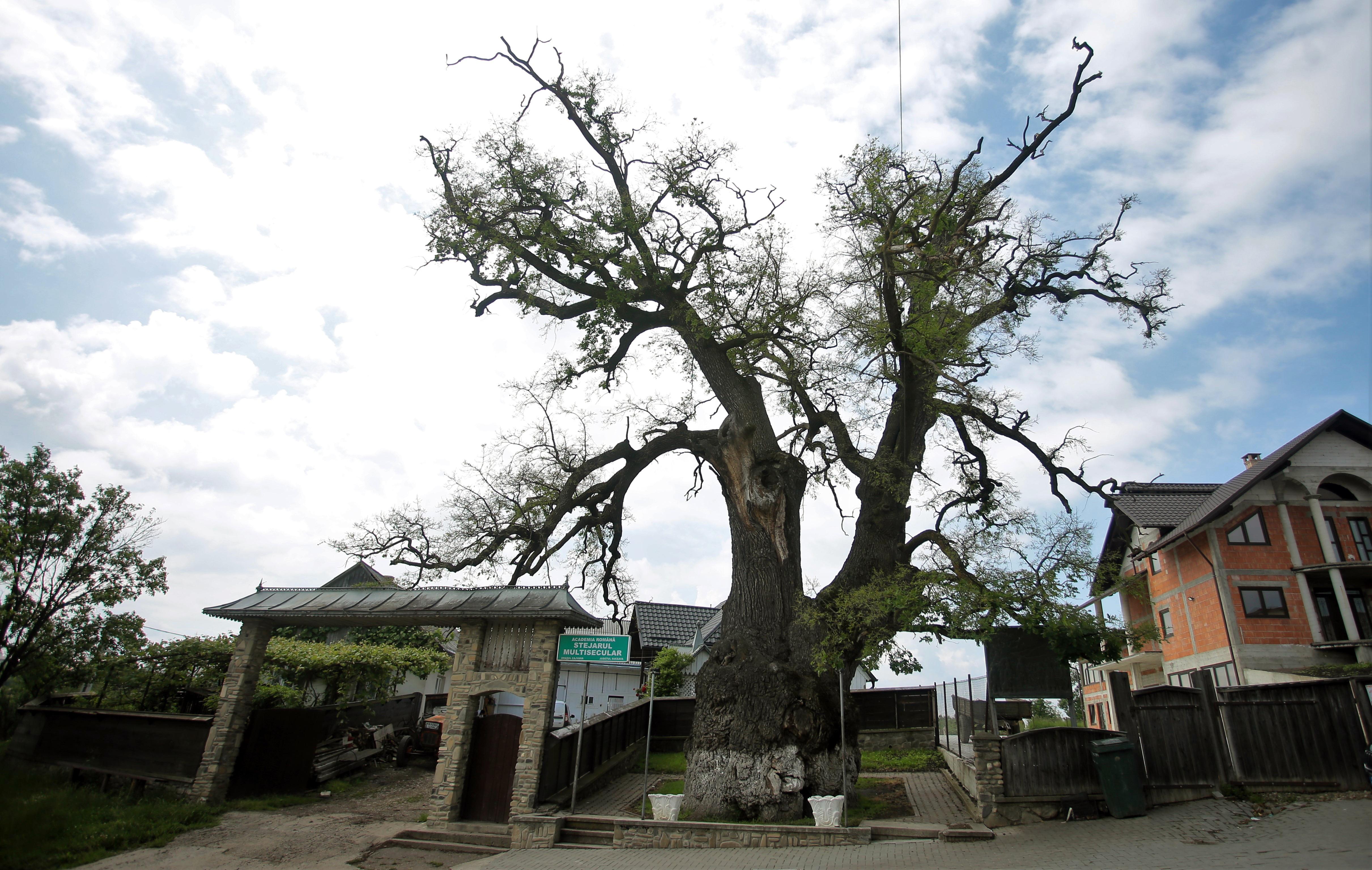 Stejarul multisecular din Cajvana